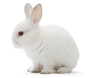 Studio shot of a white rabbit isolated on white background.